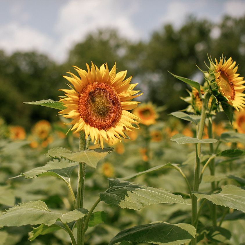 Sunflower Photo Sessions