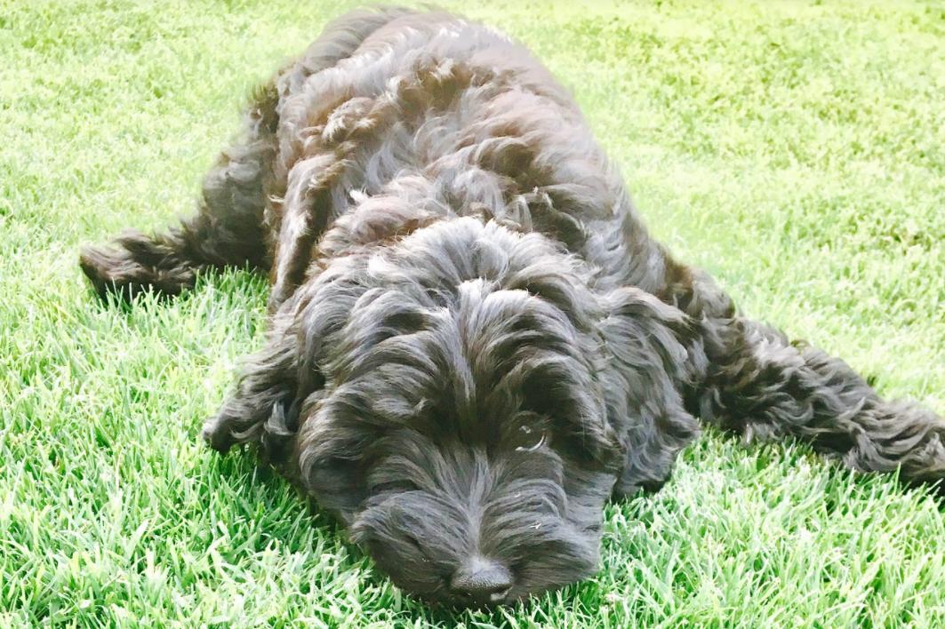 Puppies | Queen Creek, AZ, United States | Goldendoodle Dog