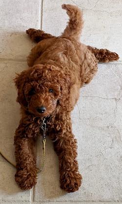 Ginger F1b Tiny Goldendoodle