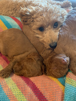Ginger with pups