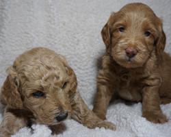 Lulu F2 Mini Goldendoodle