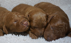 Ginger F1b Tiny Goldendoodleoldendoodle Puppies 6/28/20