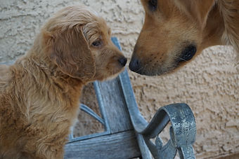 Goldendoodle puppy & mom