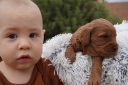 June F1b Mini Goldendoodles