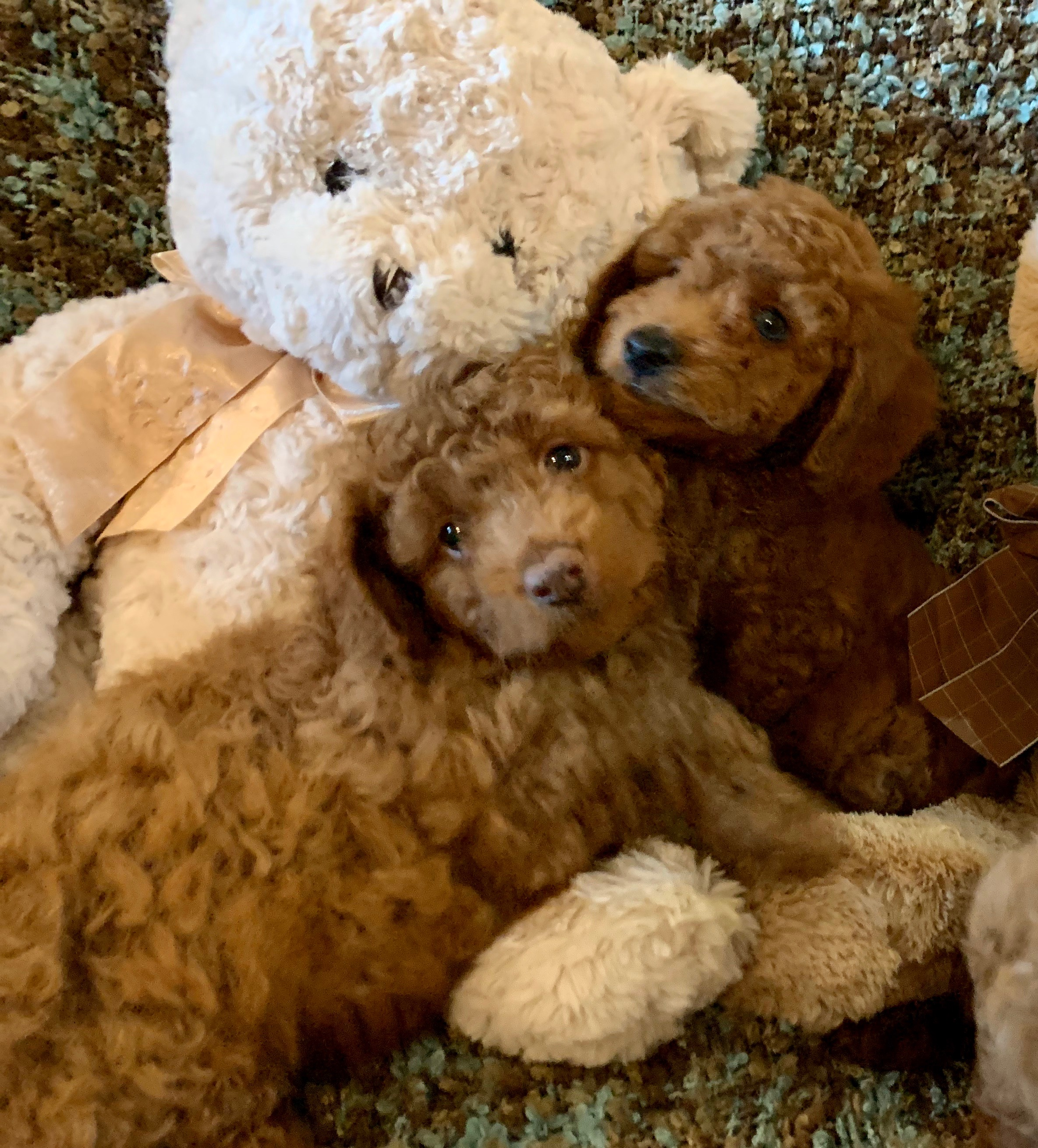 Ginger F1b Tiny Goldendoodle