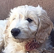 Goldendoodle pups fo sale