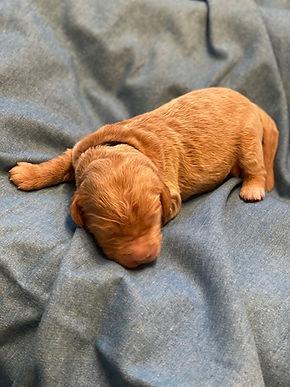 golden boy pup.jpg