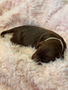 grayfemale pup.jpg