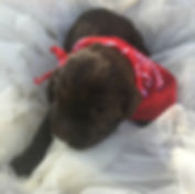 red bandana pup.jpg