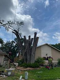 Removing Large Oak Tree