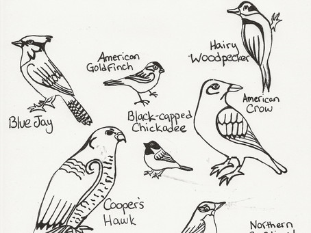 Coloring with Courtney - Backyard Birds of Massachusetts