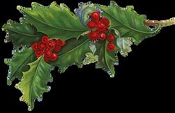 ilex-crenata-common-holly-christmas-aqui
