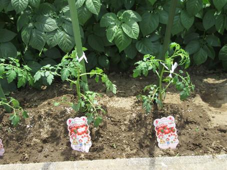 夏野菜を植えたよ