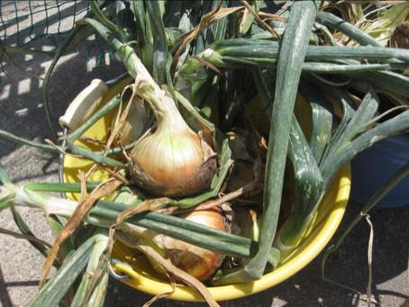 玉ねぎを収穫したよ!