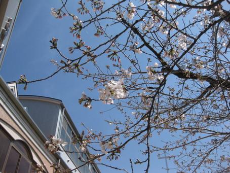 桜の下で預かりの子ども達