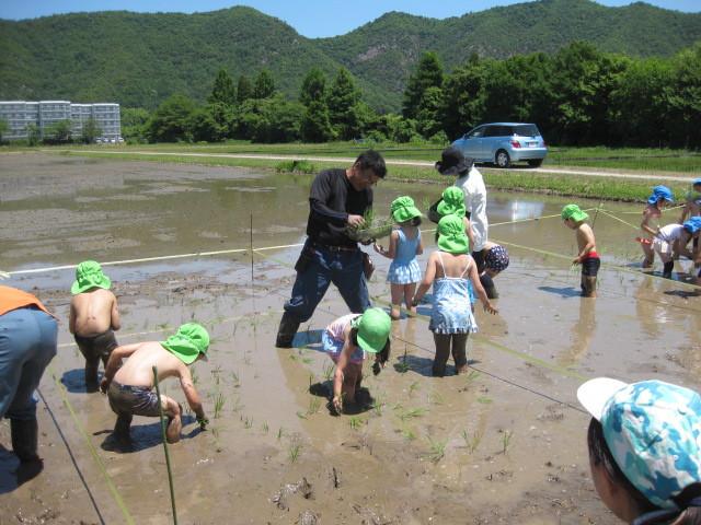 年長さんが岐阜大学の田んぼで田植えをしました。