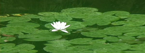 waterlily1_000.jpg