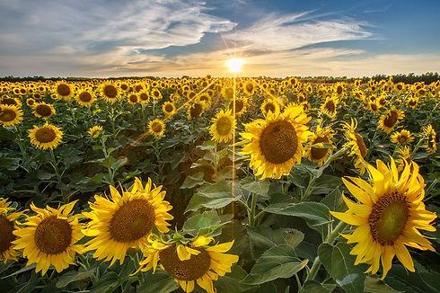 sunflower-5.jpg