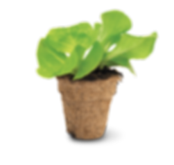 SH04 Lettuce 003_CMYK.png
