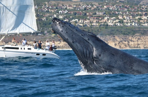 Whale Watching Newport Beach