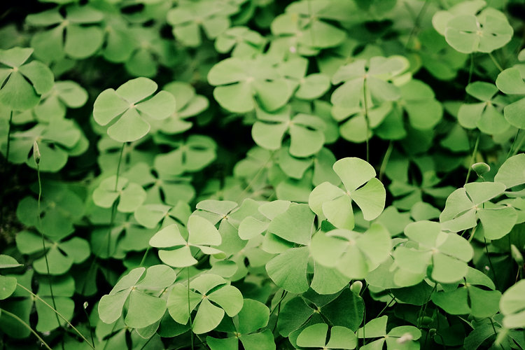 Clover%20Leaves_edited.jpg