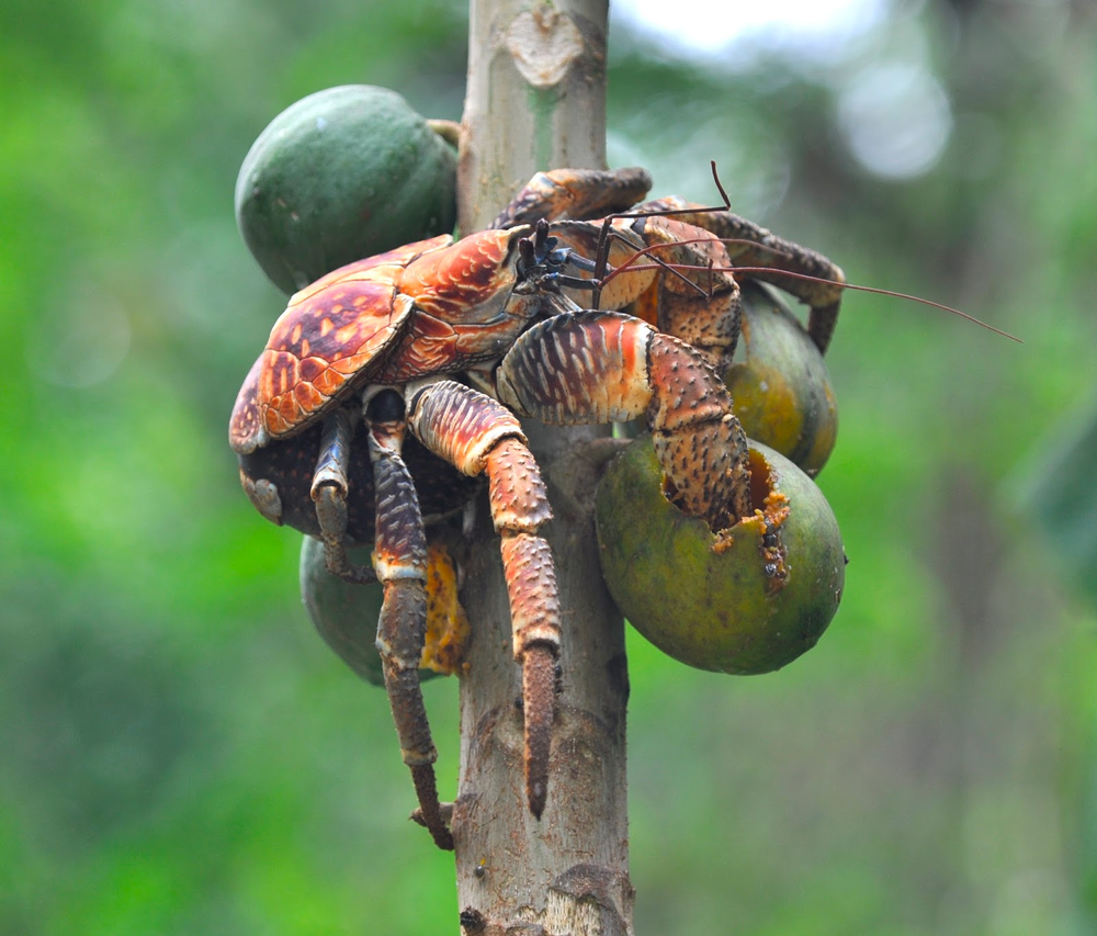 Robber Crab: Prince of Thieves