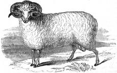 Spanish Merino 1840.png