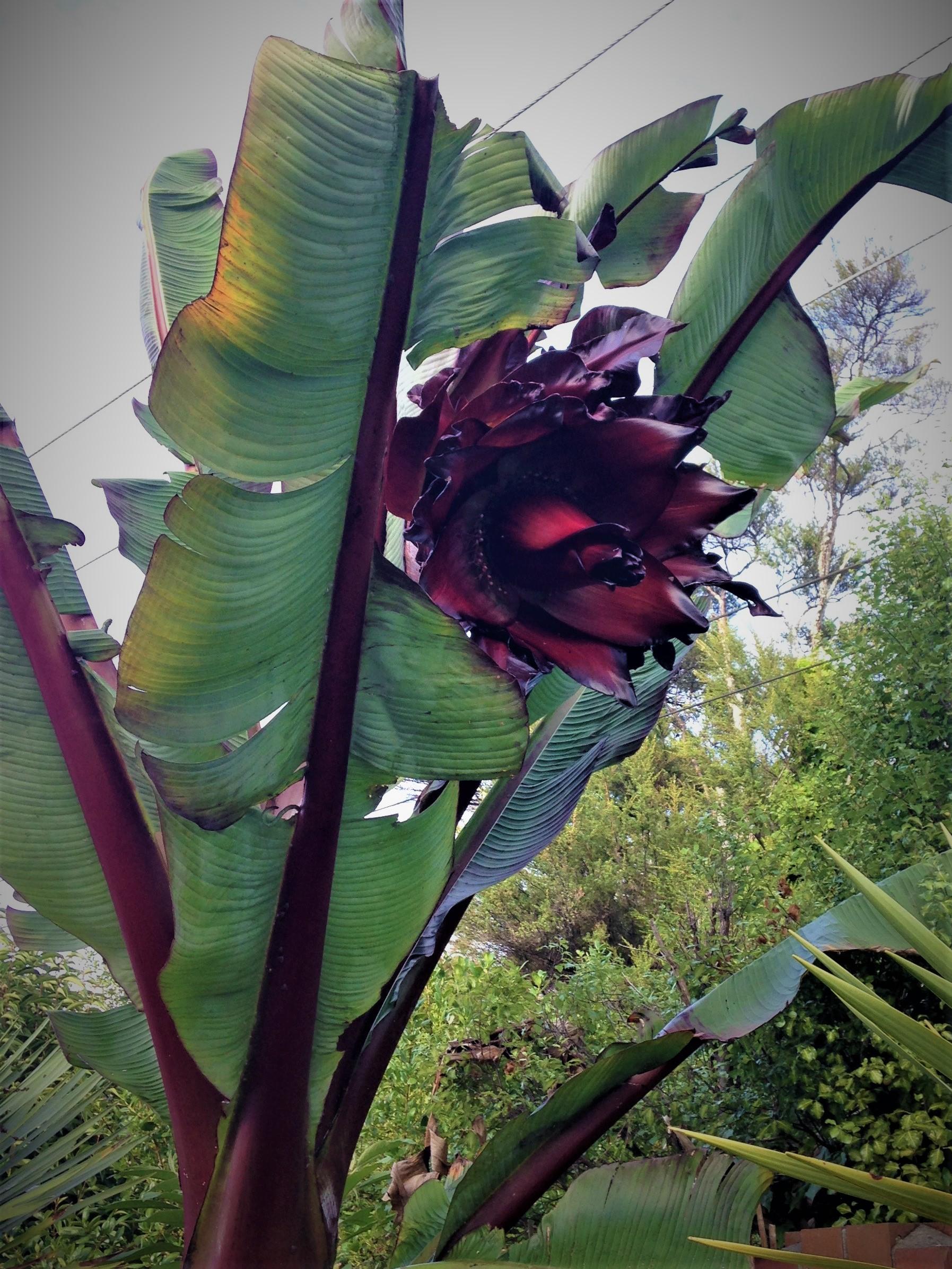 Gardens Banana Flower