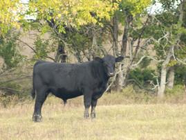2021 BIF Symposium Focuses on Beef Cattle Breeding and Genetic Improvement