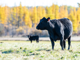 From Continent to Continent - Expanding the Reach of Angus Genetics