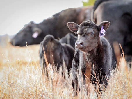 Overcoming Your Herd's Biggest Reproductive Obstacle
