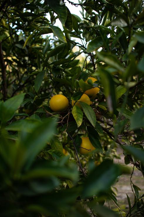 Art Prints For Sale Photojournalism Philadelphia Photographer Philly Street Photography Lemon tree