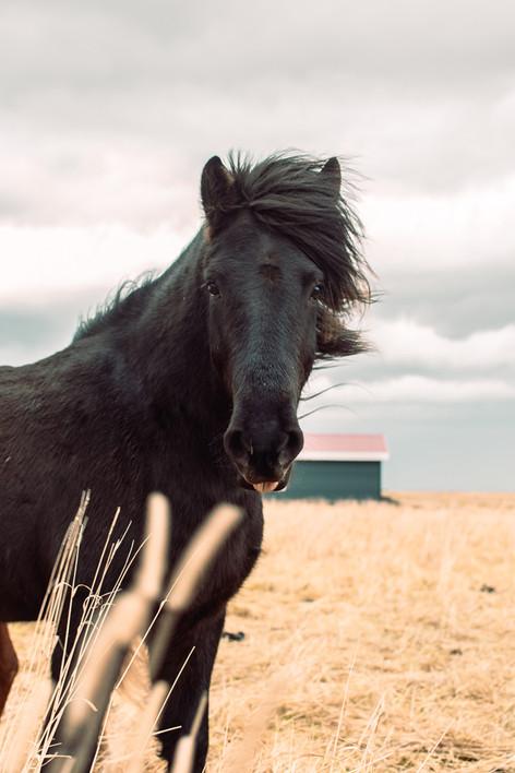 art prints Iceladic Horse philadelphia photographer