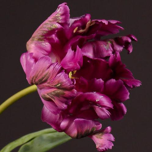 PÂQUES - Tulipes perroquet mauve foncé