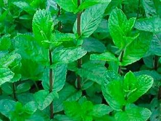 Aromaterapia: Las plantas que debes inhalar para llenar tu semana con las mejores vibras
