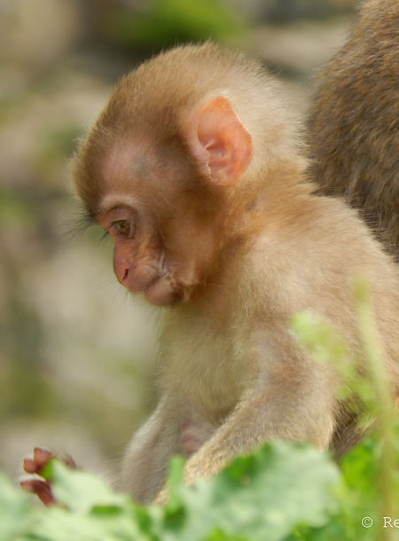 Baby Macaque in Nagano, Japan