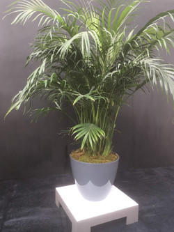 Palm Trees on pedestal