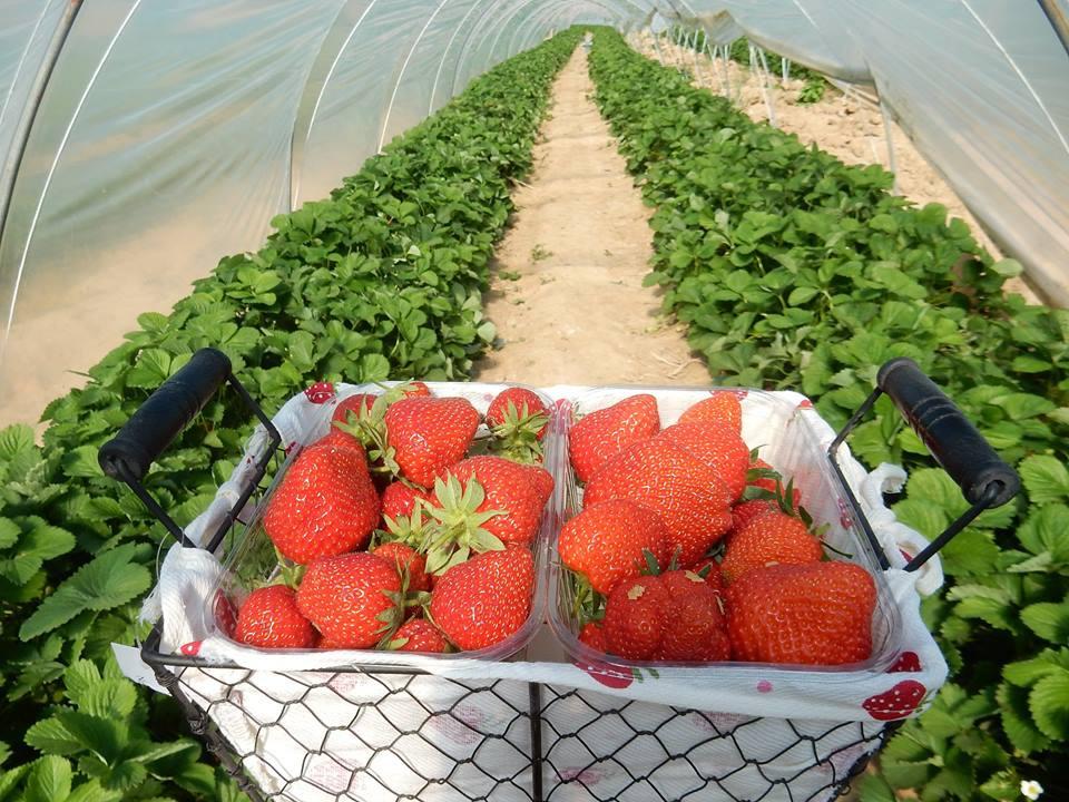 Vous pouvez venir cueillir les fraises de mai à juin et tous les autres légumes en fonction des saisons