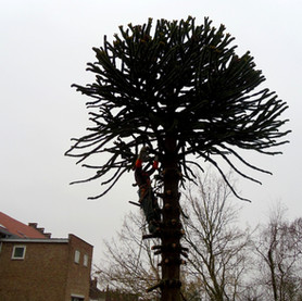 Élagage d'un arbre exotique :