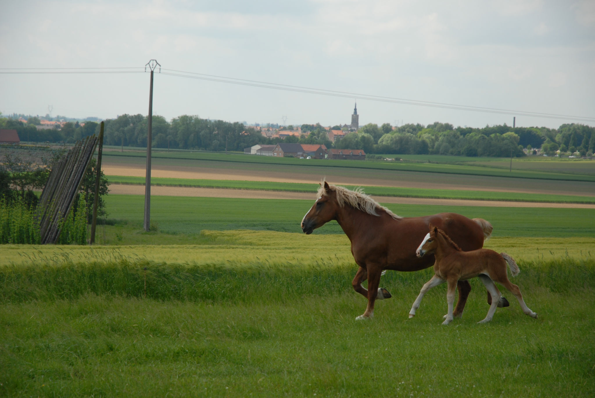 Les chevaux Flamands