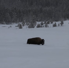 Some Videos from the Wild West: The Tetons and The Yellowstone (trailer)