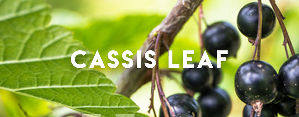 cassis leaf Banner.jpg