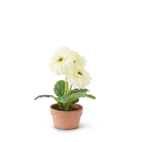 Potted White Gerber Daisy
