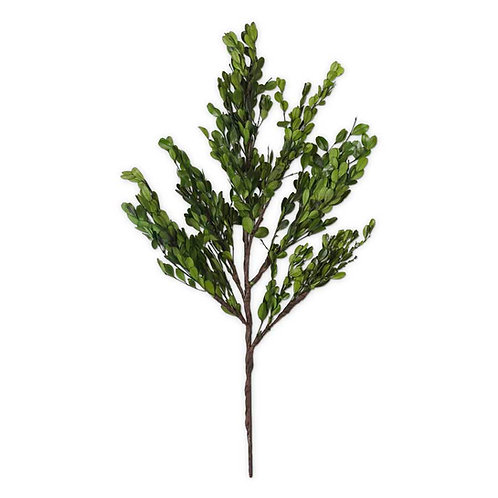 Boxwood Stem