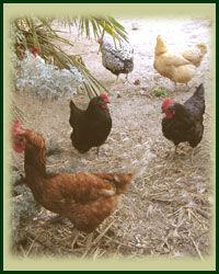 raisechickenschickens.jpg