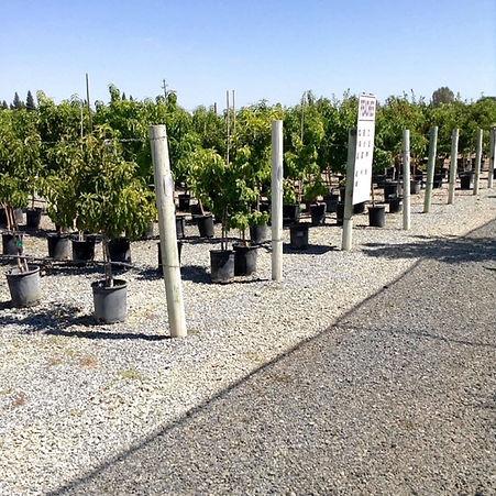 fruit tree row.JPG