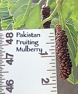 pakistan_fruit_mulberry.jpg