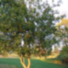 li jujube tree