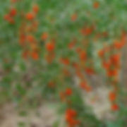 Goji berries on shrub