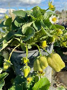 strawberry 2.jpg